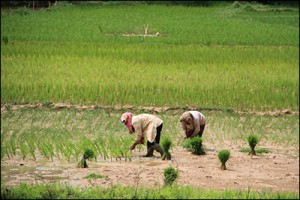 Thailand's role in rice exports was severely damaged by corruption in the government.